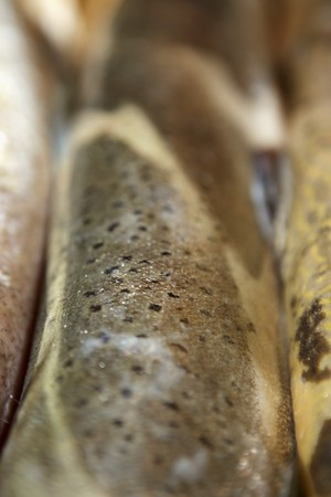 brown trout: Brown trout skin LANG_EVOIMAGES
