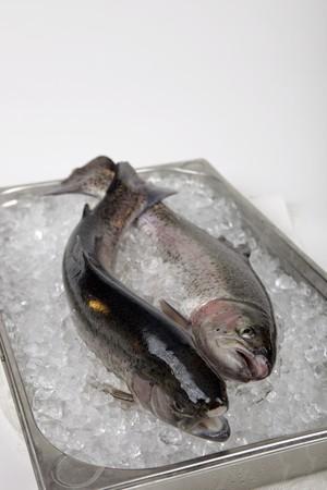 salmo trutta: Rainbow trout on ice