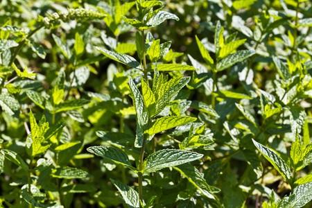 mentha: Mint (mentha spicata)