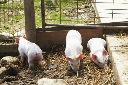 pigpen: Piglets in pigpen