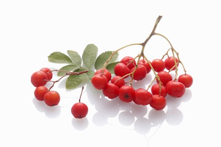 wildberry: Rowan berries on a white surface