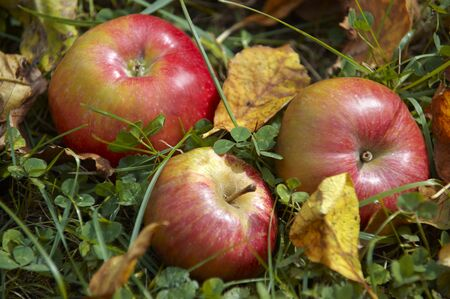 windfalls: Three apples lying in the grass LANG_EVOIMAGES