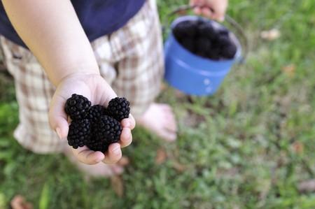brambleberries: A child holding a handful of blackberries