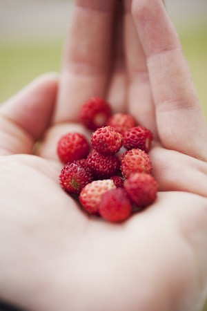 wildberry: Wild strawberries on the palm of someones hand