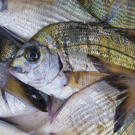 sea bream: Fresh sea bream (gilt-head sea bream)
