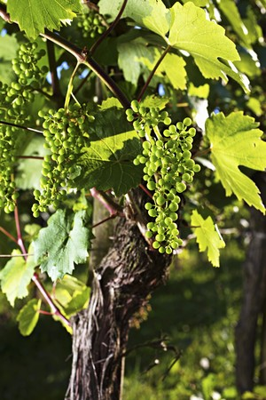 early summer: A vine with unripe grapes in early summer LANG_EVOIMAGES