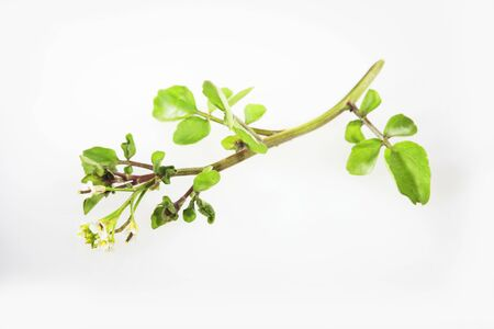 water cress: Fresh Bunch of Upland Cress on White Background