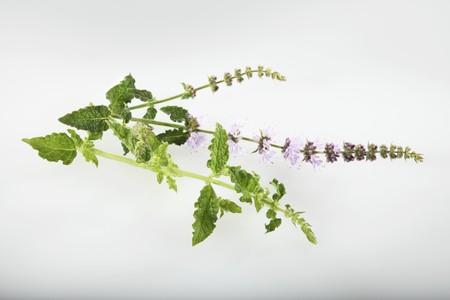 mentha: Strawberry mint (Mentha species)