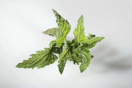 mentha: T� de menta marroqu� (Mentha spicata var. Crispa)