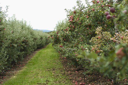 windfalls: A Grass Isle in an Apple Orchard with apple Trees Full of Ripe Apples LANG_EVOIMAGES