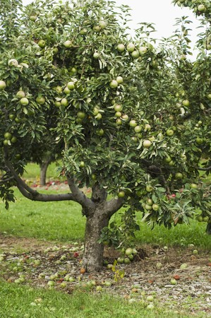 windfalls: Apple Tree Filled with Granny Smith Apples