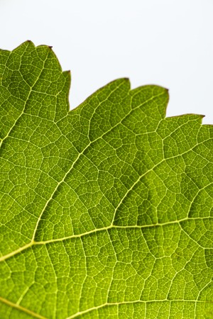 veining: A green vine leaf LANG_EVOIMAGES