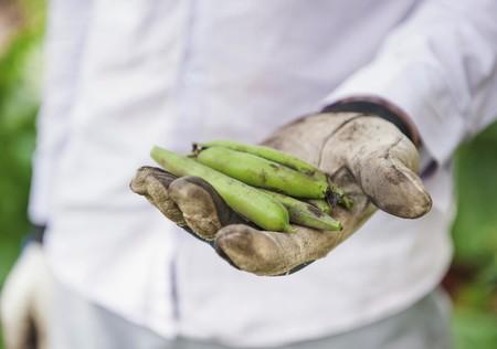 fava bean: Hand clad in gardening gloves holding fava bean pods (Vicia faba)