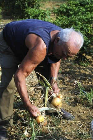 pulled over: An older man harvesting onions in a garden
