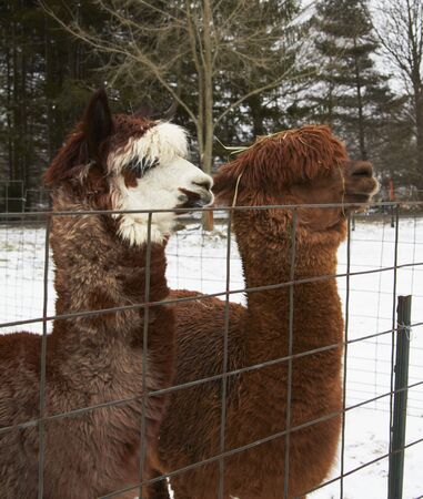 twos: Alpacas at a Wire Fence LANG_EVOIMAGES