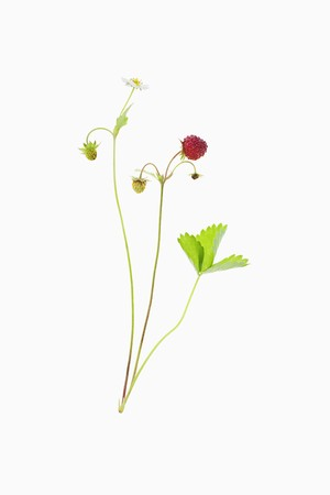wildberry: A woodland strawberry LANG_EVOIMAGES