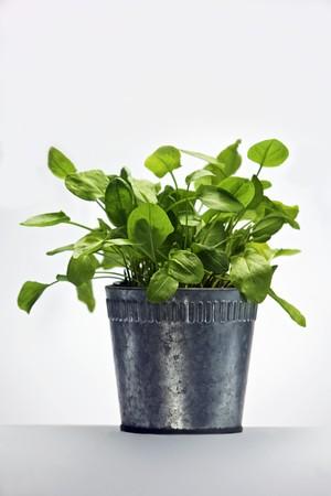 flowerpot: Sorrel in a flowerpot