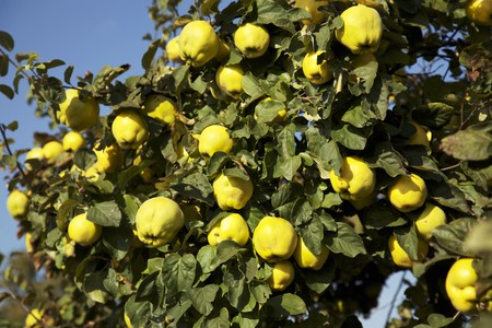 quinces: Ripe quinces on a tree