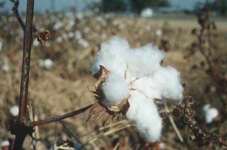 planta de algodon: Campos de algod�n - de cerca en una planta de algod�n. LANG_EVOIMAGES