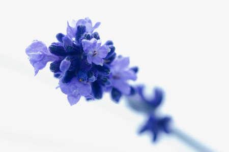 lavandula angustifolia: Lavender flowers