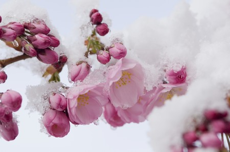 snowcovered: Snow-covered cherry blossom LANG_EVOIMAGES
