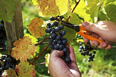 vintages: Blaufränkisch grapes being cut from the vine with shears LANG_EVOIMAGES