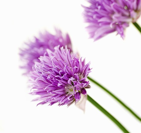chive: Chive flowers LANG_EVOIMAGES