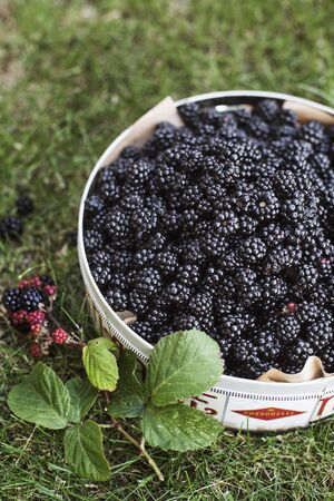 Fresh picked blackberries in a container