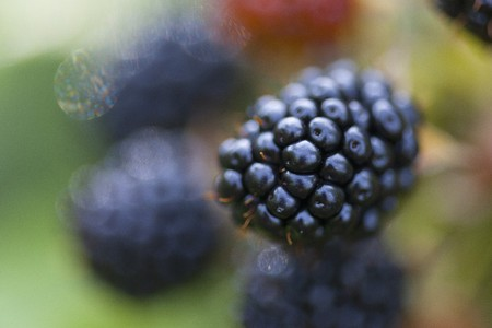 brambleberries: A blackberry on the bush (close-up) LANG_EVOIMAGES