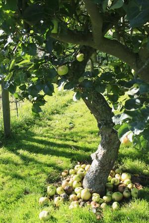 windfalls: Windfalls under an apple tree