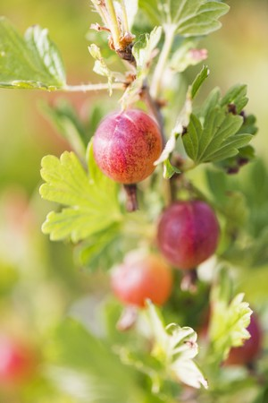 ribes: Gooseberries (Ribes uva-crispa) growing in garden LANG_EVOIMAGES