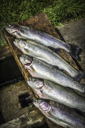 fish rearing: Freshly caught rainbow trout from Ybbstal (Lower Austria)