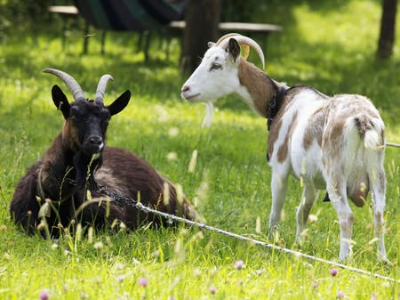 farmyards: Two goats in a garden LANG_EVOIMAGES