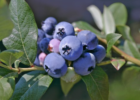 wildberry: Blueberries on a bush LANG_EVOIMAGES