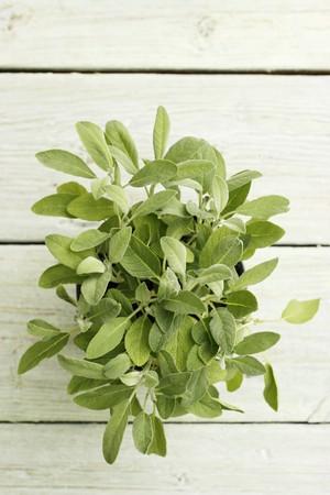 flowerpot: Fresh sage in a flowerpot