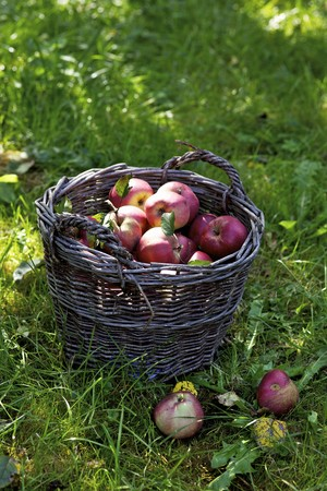 windfalls: Red apples in a basket in a field