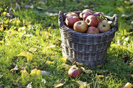 windfalls: Boskoop apples in a basket in the field