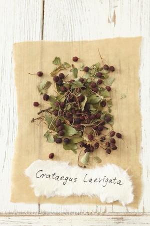 crata�gus: Woodland espino (Crataegus laevigata)