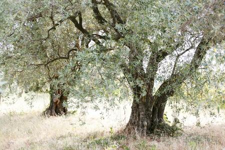 gnarled: Two gnarled olive trees LANG_EVOIMAGES