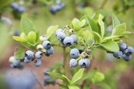 wildberry: Wild blueberries on the bush LANG_EVOIMAGES
