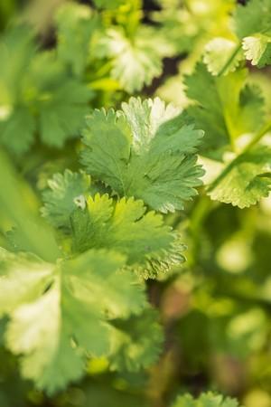 coriandrum sativum: Coriander (Coriandrum sativum) growing in garden
