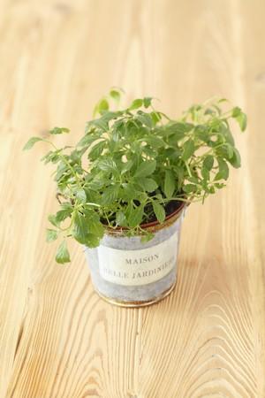 medicinal plant: Gynostemma pentaphyllum, jiaogulan (medicinal plant from Asia)