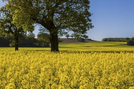 oilseed: Field of flowering oilseed rape LANG_EVOIMAGES