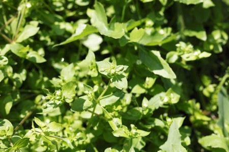 chickweed: Common chickweed (Stellaria media) LANG_EVOIMAGES