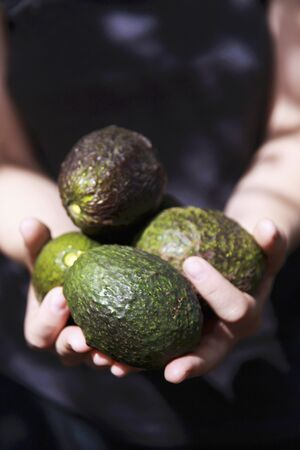 freshly picked: A womans hands holding freshly picked avocados LANG_EVOIMAGES