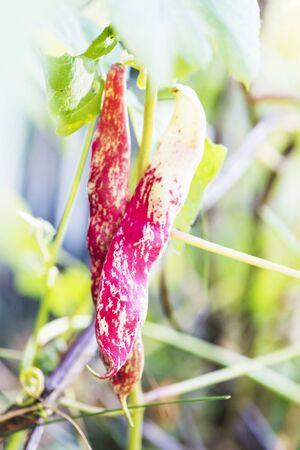 borlotti beans: Borlotti beans on the plant