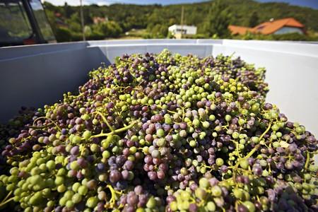 vintages: A harvest of unripe Zweigelt grapes for making verjuice