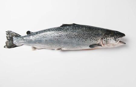 salmo trutta: A trout against a white background