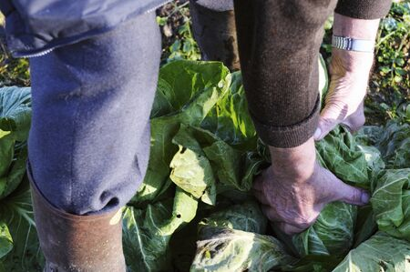 wellie: A man pulling cabbages from a vegetable patch