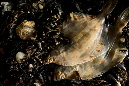 plaice: Fresh plaice on seaweed (seen from above)